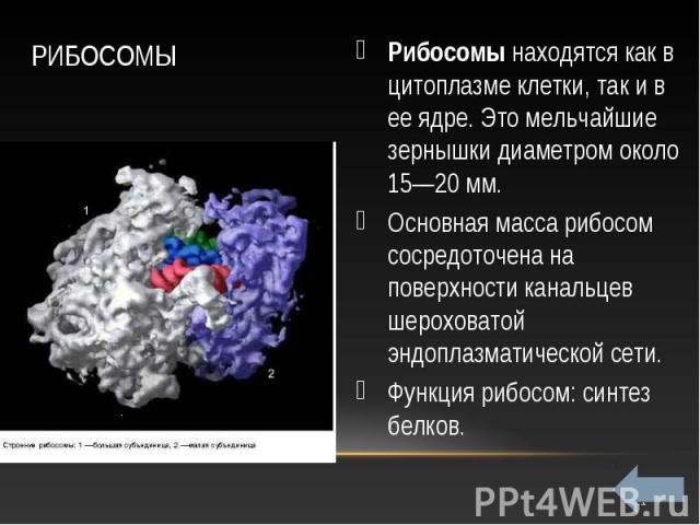 Рибосомы находятся как в цитоплазме клетки, так и в ее ядре. Это мельчайшие зернышки диаметром около 15—20 мм. Рибосомы находятся как в цитоплазме клетки, так и в ее ядре. Это мельчайшие зернышки диаметром около 15—20 мм. Основная масса рибосом соср…