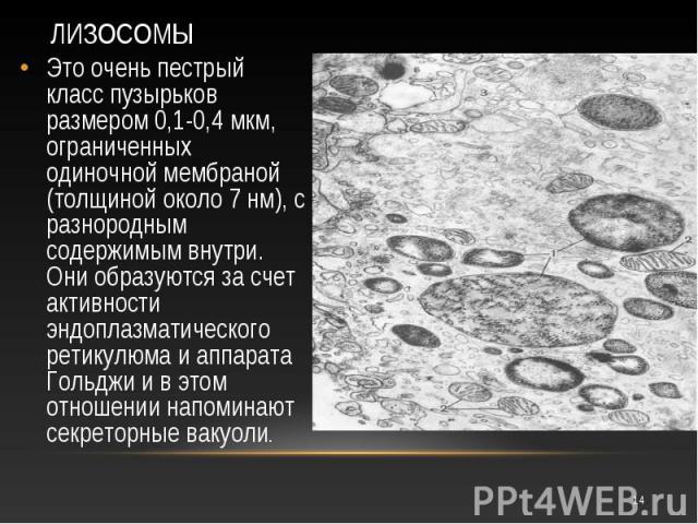 Это очень пестрый класс пузырьков размером 0,1-0,4 мкм, ограниченных одиночной мембраной (толщиной около 7 нм), с разнородным содержимым внутри. Они образуются за счет активности эндоплазматического ретикулюма и аппарата Гольджи и в этом отношении н…