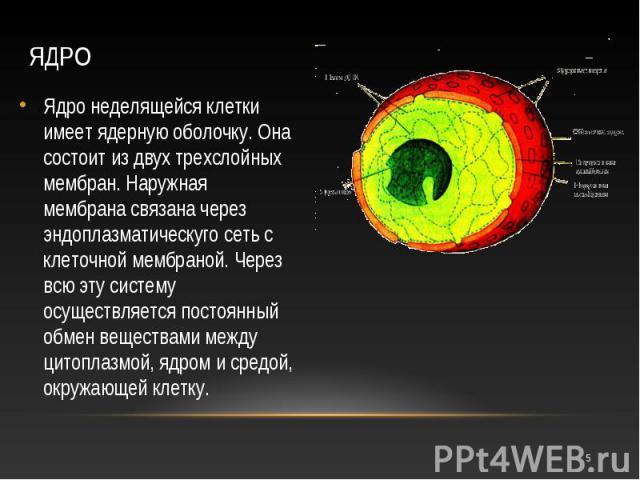 Ядро неделящейся клетки имеет ядерную оболочку. Она состоит из двух трехслойных мембран. Наружная мембрана связана через эндоплазматическуго сеть с клеточной мембраной. Через всю эту систему осуществляется постоянный обмен веществами между цитоплазм…