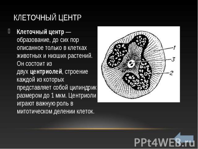 Клеточный центр— образование, до сих пор описанное только в клетках животных и низших растений. Он состоит из двухцентриолей, строение каждой из которых представляет собой цилиндрик размером до 1 мкм. Центриоли играют важную роль в митот…