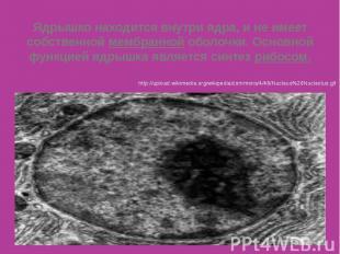 Ядрышко находится внутри ядра, и не имеет собственной мембранной оболочки. Основ