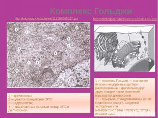 http://tsitologiya.ru/pictures/211208064745.jpg