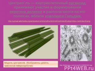 Центрио ль— внутриклеточный органоид, принимают участие в формировании вер