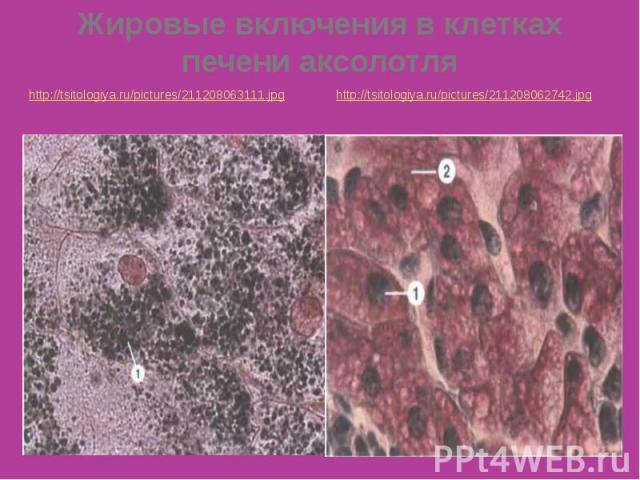Жировые включения в клетках печени аксолотля