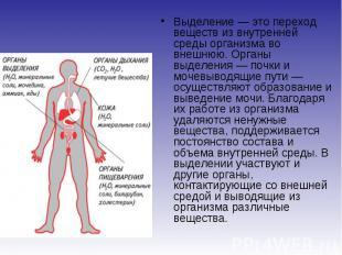 Выделение — это переход веществ из внутренней среды организма во внешнюю. Органы