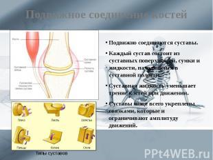 Подвижное соединение костей Подвижно соединяются суставы. Каждый сустав состоит