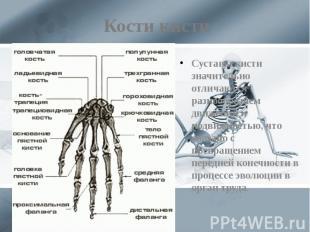 Кости кисти Суставы кисти значительно отличаются разнообразием движений и подвиж