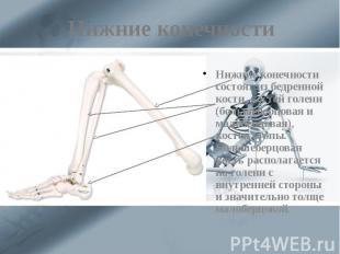 Нижние конечности Нижние конечности состоят из бедренной кости, костей голени (б