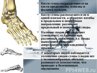 Кости стопы подразделяются на кости предплюсны, плюсны и фаланги пальцев. Кости