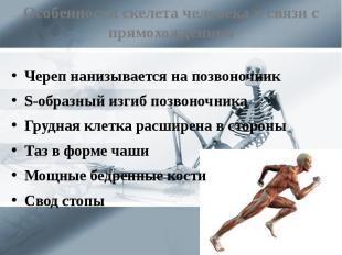 Особенности скелета человека в связи с прямохождением Череп нанизывается на позв