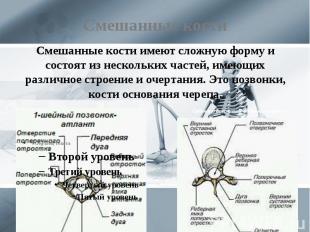 Смешанные кости Смешанные кости имеют сложную форму и состоят из нескольких част
