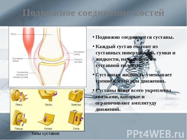 Подвижное соединение костей Подвижно соединяются суставы. Каждый сустав состоит из суставных поверхностей, сумки и жидкости, находящейся в суставной полости. Суставная жидкость уменьшает трение костей при движении. Суставы чаще всего укреплены связк…