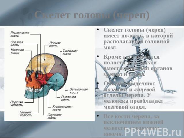 Скелет головы (череп) Скелет головы (череп) имеет полость, в которой располагается головной мозг. Кроме того имеются полости рта, носа и вместилища для органов зрения и слуха. Обычно выделяют мозговой и лицевой отделы черепа. У человека преобладает …