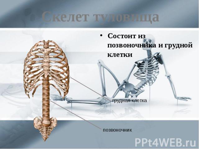 Скелет туловища Состоит из позвоночника и грудной клетки
