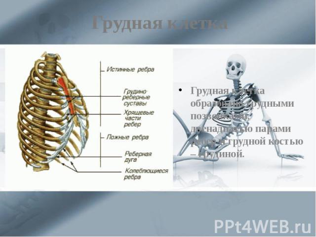 Грудная клетка Грудная клетка образована грудными позвонками, двенадцатью парами ребер и грудной костью – грудиной.