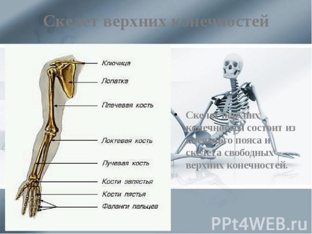 Скелет верхних конечностей Скелет верхних конечностей состоит из плечевого пояса и скелета свободных верхних конечностей.