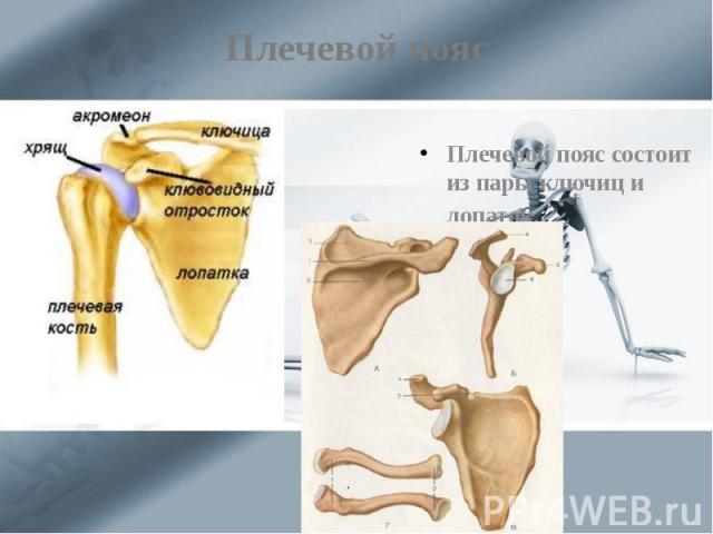 Плечевой пояс Плечевой пояс состоит из пары ключиц и лопаток.
