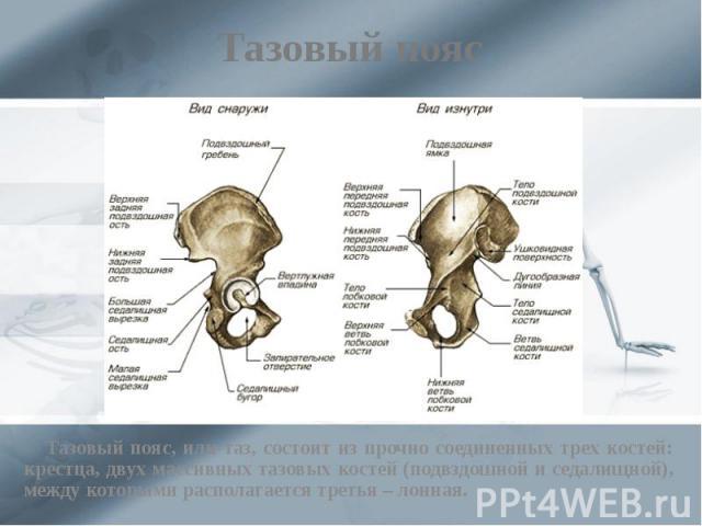 Тазовый пояс Тазовый пояс, или таз, состоит из прочно соединенных трех костей: крестца, двух массивных тазовых костей (подвздошной и седалищной), между которыми располагается третья – лонная.