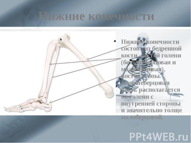 Нижние конечности Нижние конечности состоят из бедренной кости, костей голени (большеберцовая и малоберцовая), костей стопы. Большеберцовая кость располагается на голени с внутренней стороны и значительно толще малоберцовой.