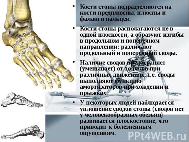 Кости стопы подразделяются на кости предплюсны, плюсны и фаланги пальцев. Кости стопы подразделяются на кости предплюсны, плюсны и фаланги пальцев. Кости стопы располагаются не в одной плоскости, а образуют изгибы в продольном и поперечном направлен…