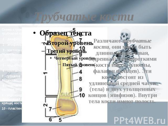 Трубчатые кости Различают трубчатые кости, они могут быть длинными(плечевая, бедренная) или короткими (кости пясти, плюсны, фаланги пальцев). Эти кости состоят из удлиненной средней части (тела) и двух утолщенных концов (эпифизов). Внутри тела кости…