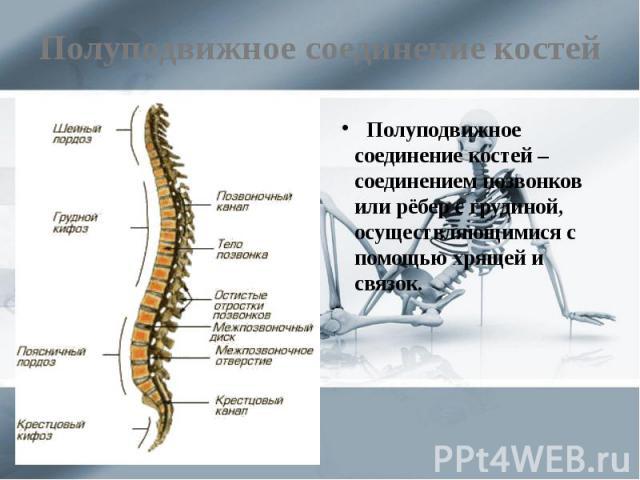Полуподвижное соединение костей Полуподвижное соединение костей – соединением позвонков или рёбер с грудиной, осуществляющимися с помощью хрящей и связок.