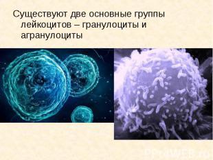 Существуют две основные группы лейкоцитов – гранулоциты и агранулоциты Существую