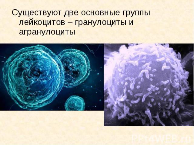 Существуют две основные группы лейкоцитов – гранулоциты и агранулоциты Существуют две основные группы лейкоцитов – гранулоциты и агранулоциты