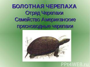 БОЛОТНАЯ ЧЕРЕПАХА Отряд Черепахи Семейство Американские пресноводные черепахи