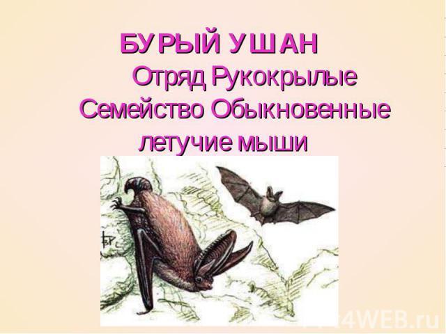 БУРЫЙ УШАН   Отряд Рукокрылые  Семейство Обыкновенные летучие мыши
