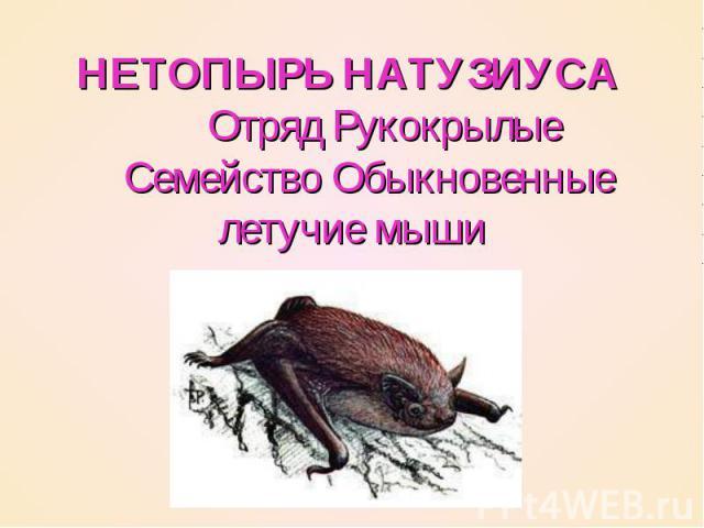 НЕТОПЫРЬ НАТУЗИУСА   Отряд Рукокрылые  Семейство Обыкновенные летучие мыши