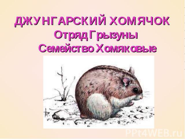 ДЖУНГАРСКИЙ ХОМЯЧОК  Отряд Грызуны  Семейство Хомяковые