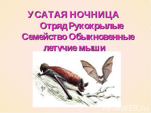 УСАТАЯ НОЧНИЦА   Отряд Рукокрылые  Семейство Обыкновенные летучие мыши