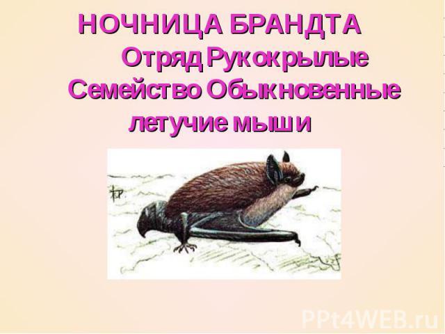 НОЧНИЦА БРАНДТА   Отряд Рукокрылые  Семейство Обыкновенные летучие мыши