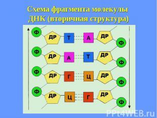 Схема фрагмента молекулы ДНК (вторичная структура)