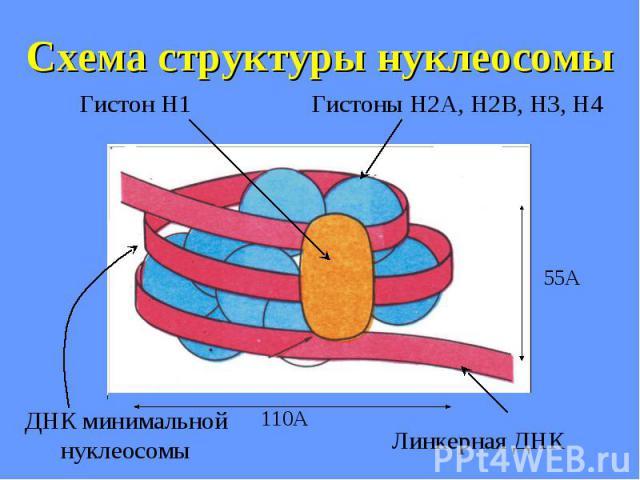 Схема структуры нуклеосомы
