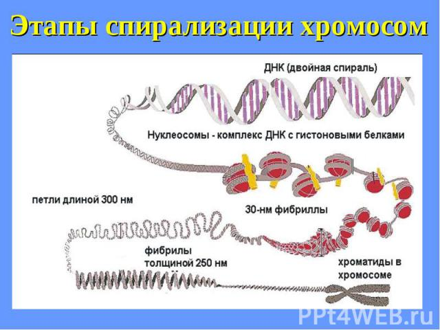 Этапы спирализации хромосом