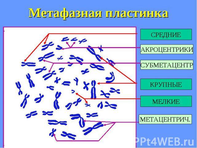 Метафазная пластинка