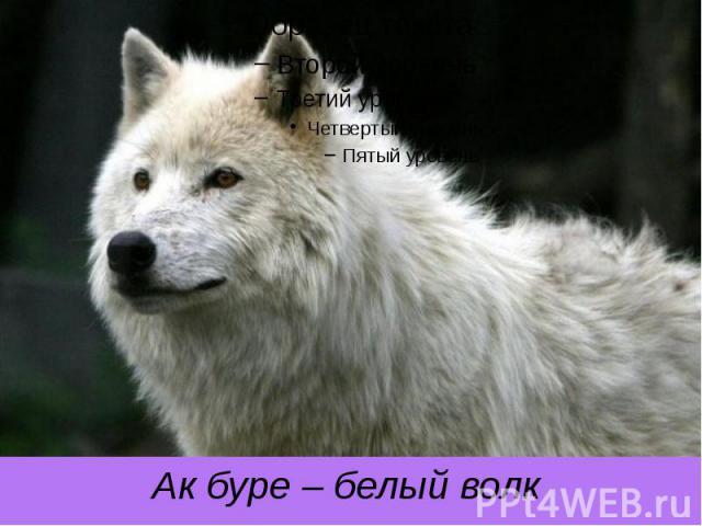 Ак буре – белый волк