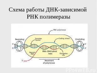 Схема работы ДНК-зависимой РНК полимеразы