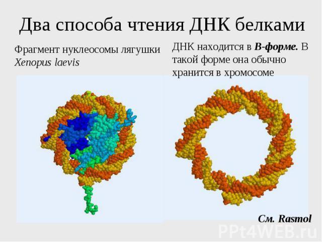 Два способа чтения ДНК белками