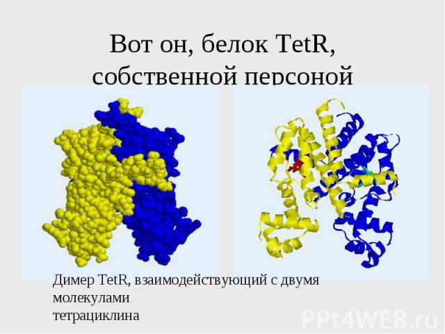 Вот он, белок TetR, собственной персоной