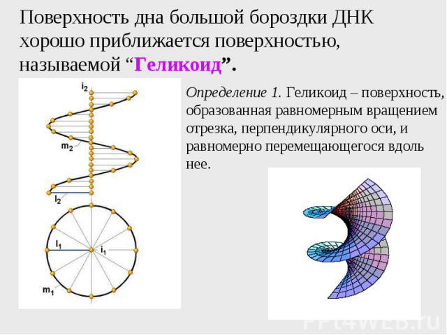 """Поверхность дна большой бороздки ДНК хорошо приближается поверхностью, называемой """"Геликоид""""."""