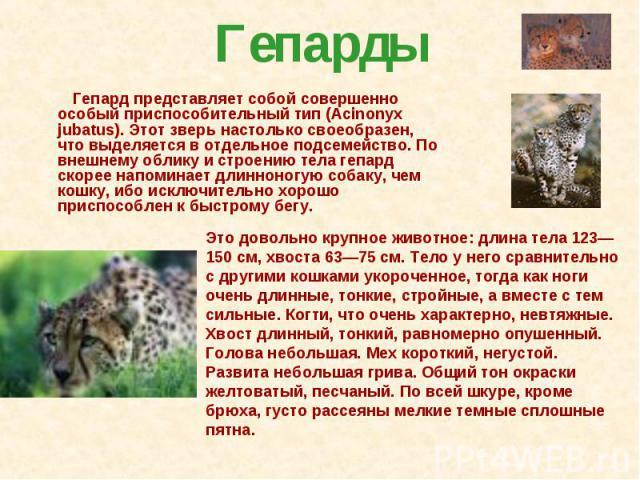 Гепарды   Гепард представляет собой совершенно особый приспособительный тип (Аcinonyx jubatus). Этот зверь настолько своеобразен, что выделяется в отдельное подсемейство. По внешнему облику и строению тела гепард скорее напоминает …