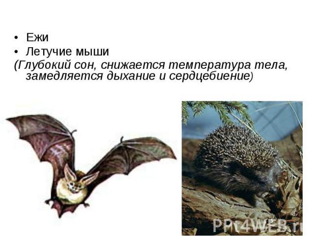 Ежи Ежи Летучие мыши (Глубокий сон, снижается температура тела, замедляется дыхание и сердцебиение)