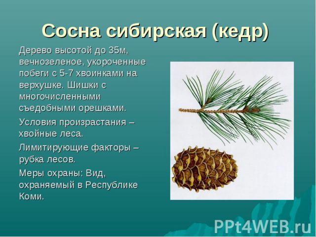 Дерево высотой до 35м, вечнозеленое, укороченные побеги с 5-7 хвоинками на верхушке. Шишки с многочисленными съедобными орешками. Дерево высотой до 35м, вечнозеленое, укороченные побеги с 5-7 хвоинками на верхушке. Шишки с многочисленными съедобными…