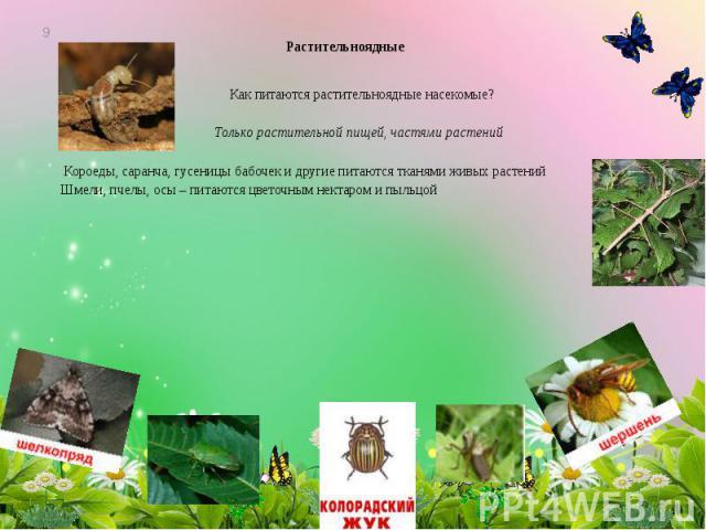 Растительноядные Как питаются растительноядные насекомые? Только растительной пищей, частями растений Короеды, саранча, гусеницы бабочек и другие питаются тканями живых растений Шмели, пчелы, осы – питаются цветочным нектаром и пыльцой