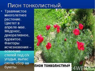 Травянистое многолетнее растение. Цветет в апреле-мае. Медонос, декоративное, яд