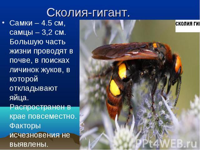 Самки – 4.5 см, самцы – 3,2 см. Большую часть жизни проводят в почве, в поисках личинок жуков, в которой откладывают яйца. Распространен в крае повсеместно. Факторы исчезновения не выявлены. Самки – 4.5 см, самцы – 3,2 см. Большую часть жизни провод…