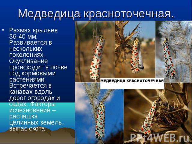 Размах крыльев 36-40 мм. Развивается в нескольких поколениях. Окукливание происходит в почве под кормовыми растениями. Встречается в канавах вдоль дорог огородах и садах. Факторы исчезновения – распашка целинных земель, выпас скота. Размах крыльев 3…